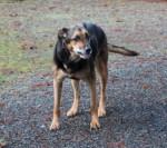 Chien Jada - Rottweiler Femelle (Autre)