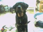 Apache a 5 mois - Rottweiler (5 mois)