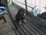 Apache a 1 mois et demi - Rottweiler (1 mois)
