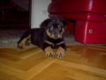 Apache a 3 mois - Rottweiler (3 mois)