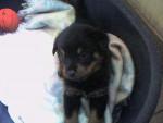 Apache a 3 semaines - Rottweiler