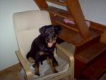 Apache a 6 mois - Rottweiler (6 mois)