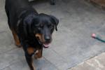 Chien  - Rottweiler Femelle (0 mois)