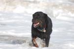 Chien  - Rottweiler  (0 mois)