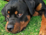 NUTEYLA - Rottweiler Mâle (1 an et 11 mois)
