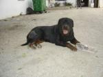 éros - Rottweiler Mâle (2 ans)