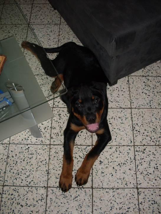 triniti - Rottweiler (4 mois)