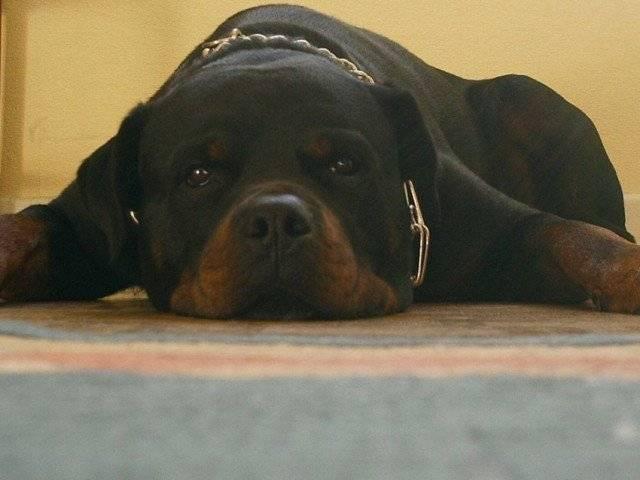 Oxmo - Rottweiler Mâle (11 ans)