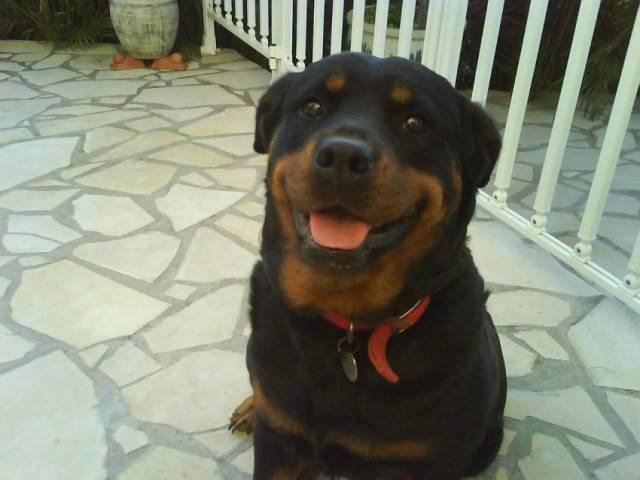 Tékila - Rottweiler (6 ans)