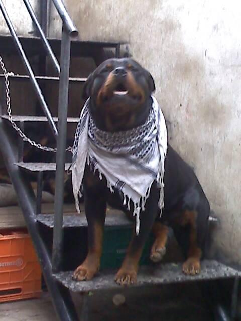 Goliat - Rottweiler Mâle (8 ans)
