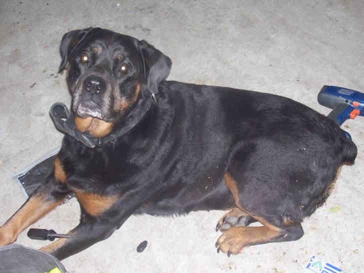 olga - Rottweiler (11 ans)
