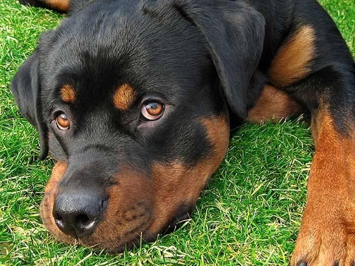 Tyson - Rottweiler Mâle (1 an)