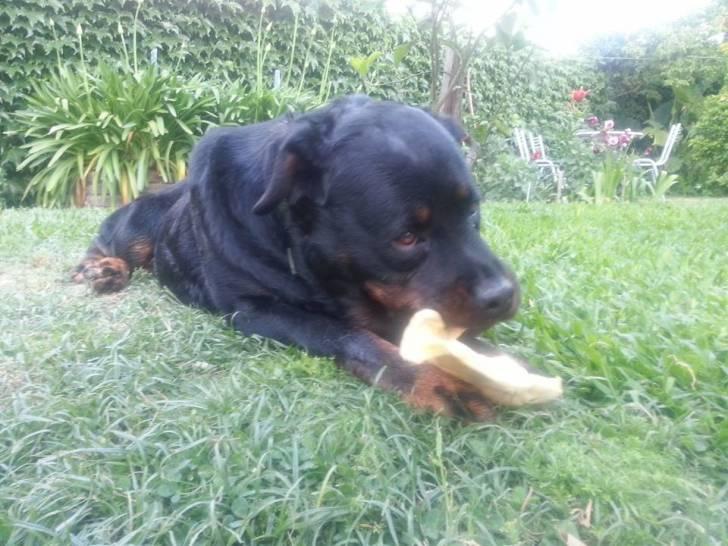 Toba - Rottweiler (2 ans)