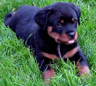 Tylloa - Rottweiler (4 mois)