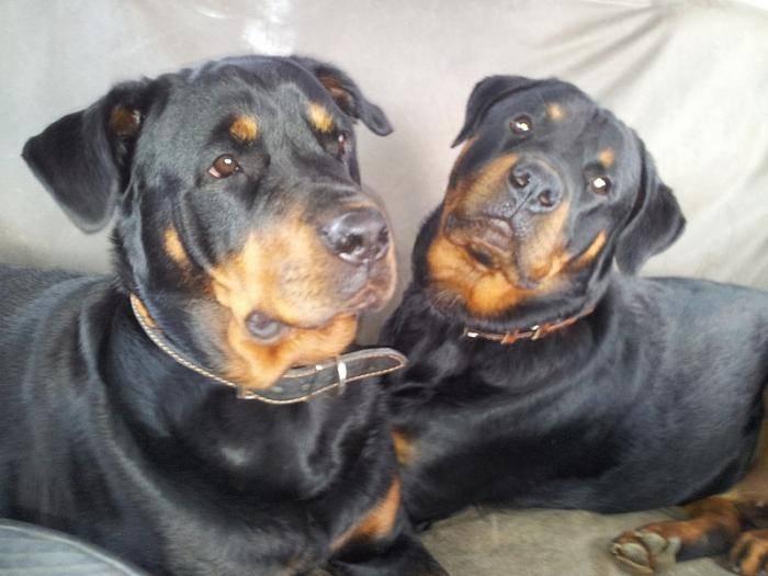 Karmen 9 mois et Margo - Rottweiler (9 mois)