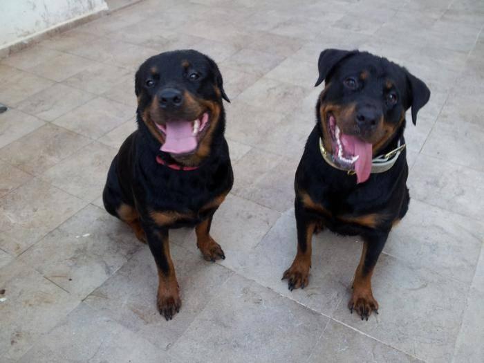 Karmen et sa soeur Leloo - Rottweiler