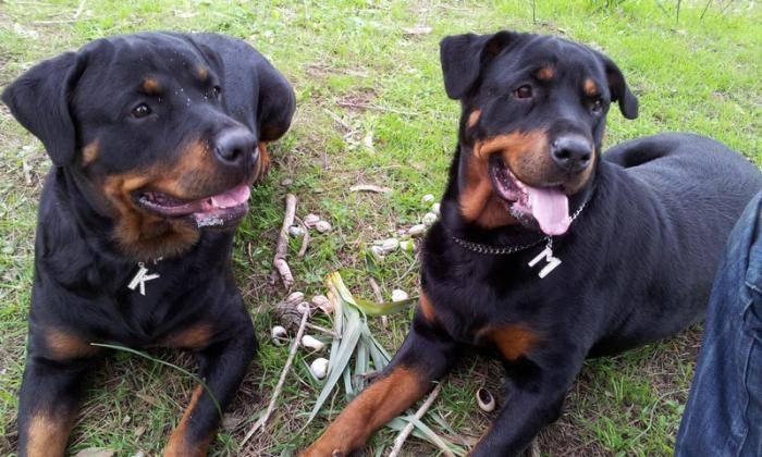 Karmen et Margo les mannequins - Rottweiler