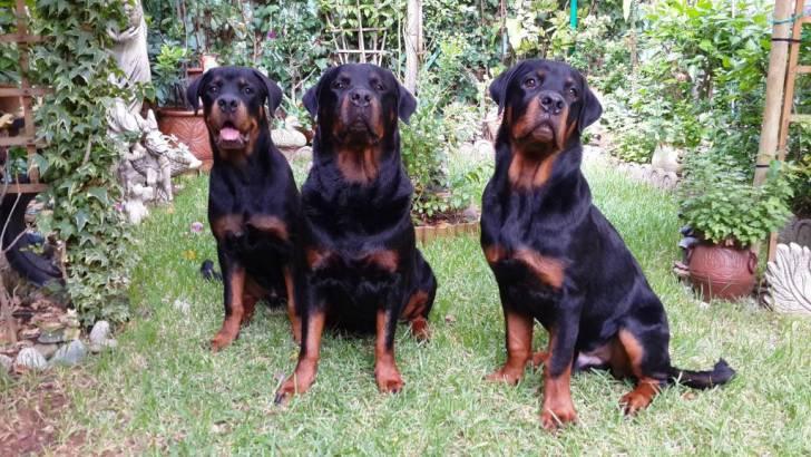 Karmen avec ses fils Hector et Paris - Rottweiler