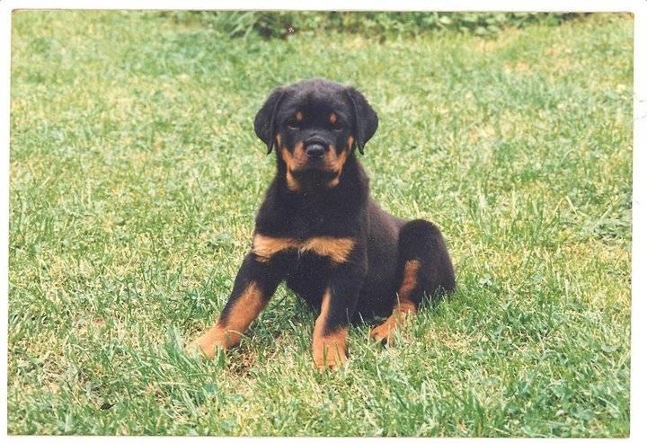 olga neva - Rottweiler (1 mois)