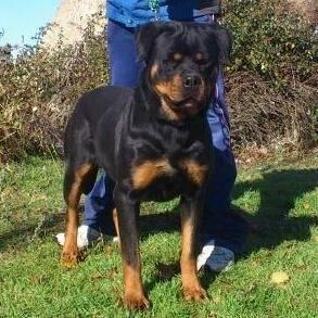 quelly de dacarvill - Rottweiler (3 ans)