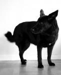 Laika - Chien d'élan norvégien noir (10 ans)