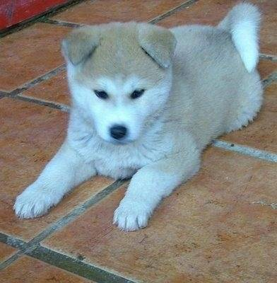 lila - Akita Inu (4 mois)