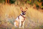 Photo Fox-terrier à poil lisse
