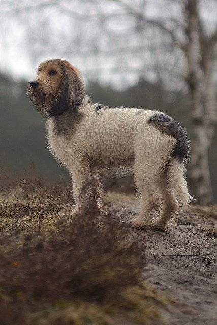 Photo Grand basset griffon vendéen