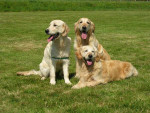 Blue,Hazel et Grace - Retriever de la Nouvelle-Écosse
