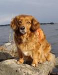 Chien Calla - Retriever de la Nouvelle-Écosse  (Vient de naître)