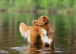 Un Retriever de la Nouvelle-Ecosse debout dans un lac