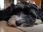 Photo Griffon à poil laineux