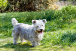 Photo Terrier irlandais Glen of Imaal