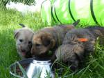 la portée de 2017 - Terrier irlandais à poil doux Mâle
