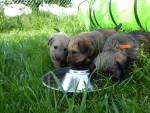 la portée de 2017 - Terrier irlandais à poil doux Mâle (1 mois)
