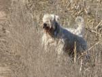 Gary, notre étalon - Terrier irlandais à poil doux Mâle (7 ans et 7 mois)