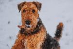 Photo Terrier irlandais à poil doux