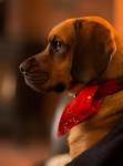 Photo Kerry beagle