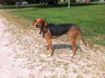 Coco - Kerry beagle Mâle