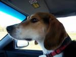 Winston - Kerry beagle