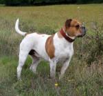 Photo Olde English Bulldogge