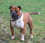 Photo Olde English Bulldogge Mâle