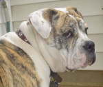 Photo Olde English Bulldogge
