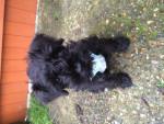 Teddy - Schnauzer miniature Mâle (2 mois)