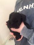 Teddy - Schnauzer miniature Mâle (1 mois)
