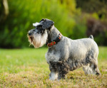 Photo Schnauzer miniature