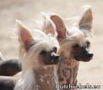 Lady Adaezea et Lady Arousha - Pays Bas DCL - Chien nu de Chine