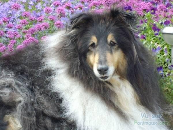 lassie - (4 ans)