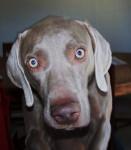 Bodie - Braque de Weimar Mâle (4 ans)