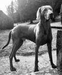 M'TCHAI-ICI De Gray Ghost de la Chevalerie - Braque de Weimar Mâle (2 ans et 7 mois)